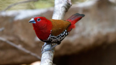 Red-throated Twinspot adult male