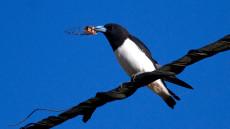 Great Woodswallow