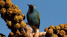Crested Berrypecker