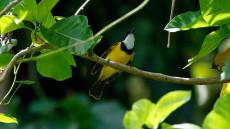 Mangrove Golden Whistler