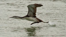 Red-throated Diver juvenile