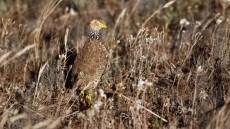 Plains-wanderer adult female