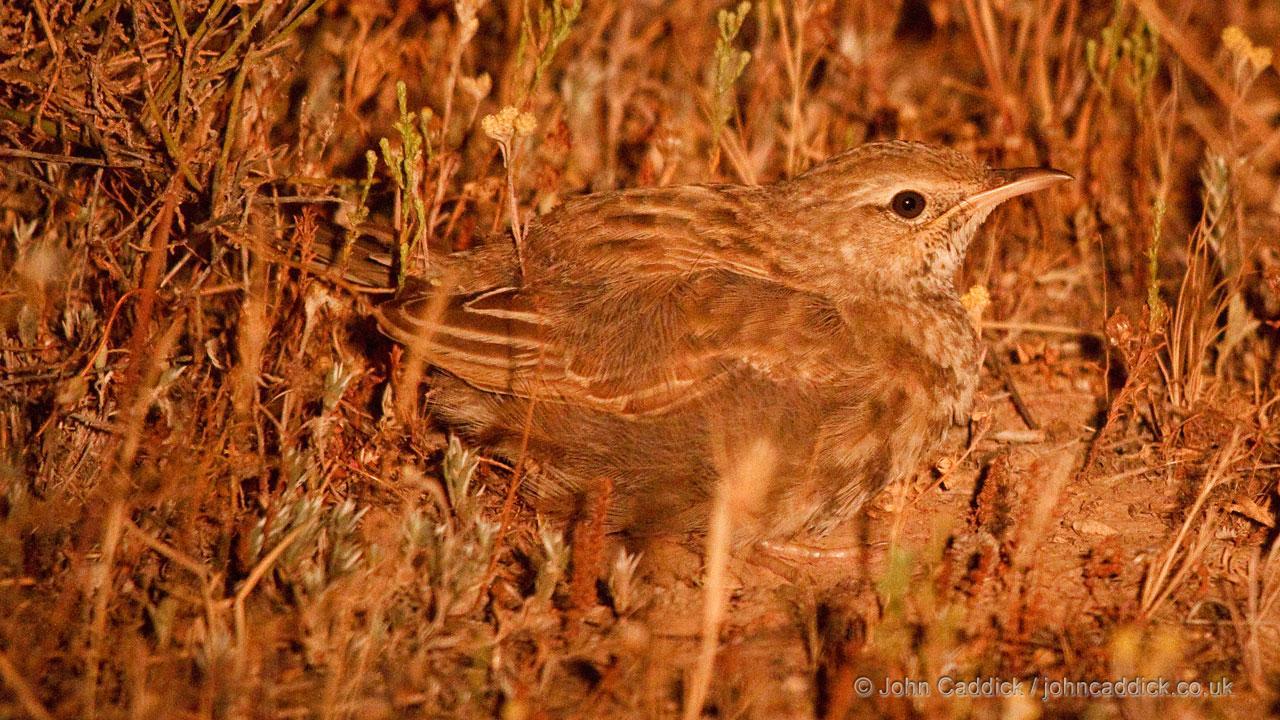 Rufous Songlark