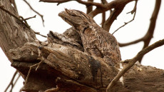 Tawny Frogmouth adult and juvenile