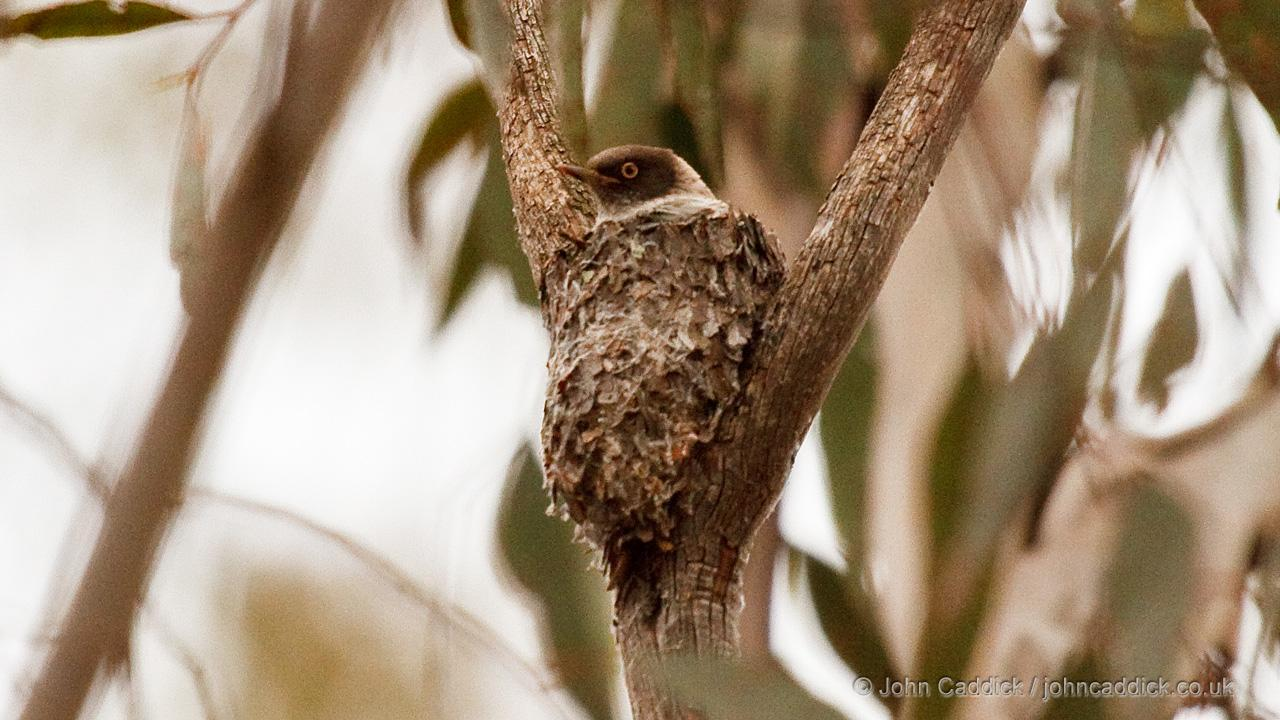 Varied Sittella on the nest