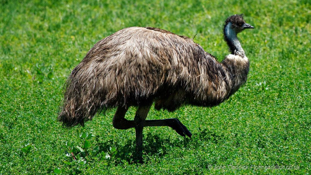 Emu adult male