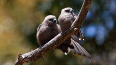 Dusky Woodswallows
