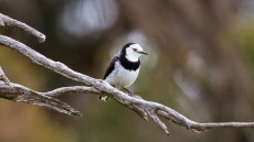 White-fronted Chat adult male