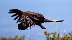 Yellow-tailed Black Cockatoo