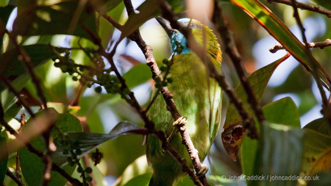 Golden-naped Barbet