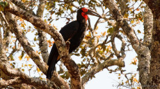 Southern Ground Hornbill adult male