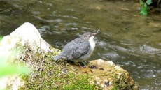 White-throated Dipper juvenile