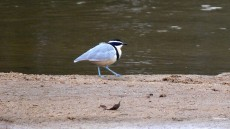 Egyptian Plover adult