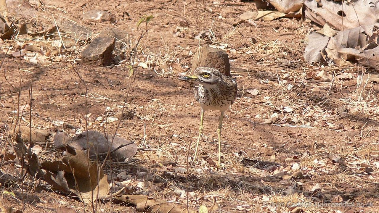 Indian Stone-curlew