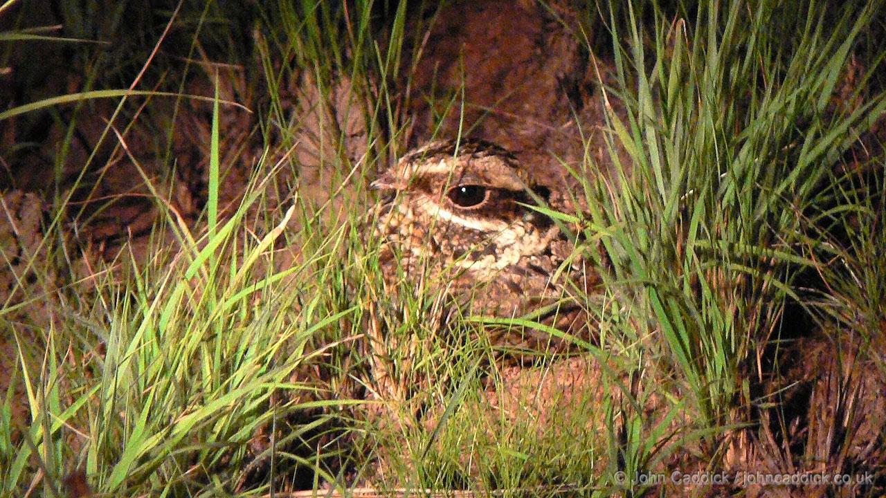 Swamp Nightjar