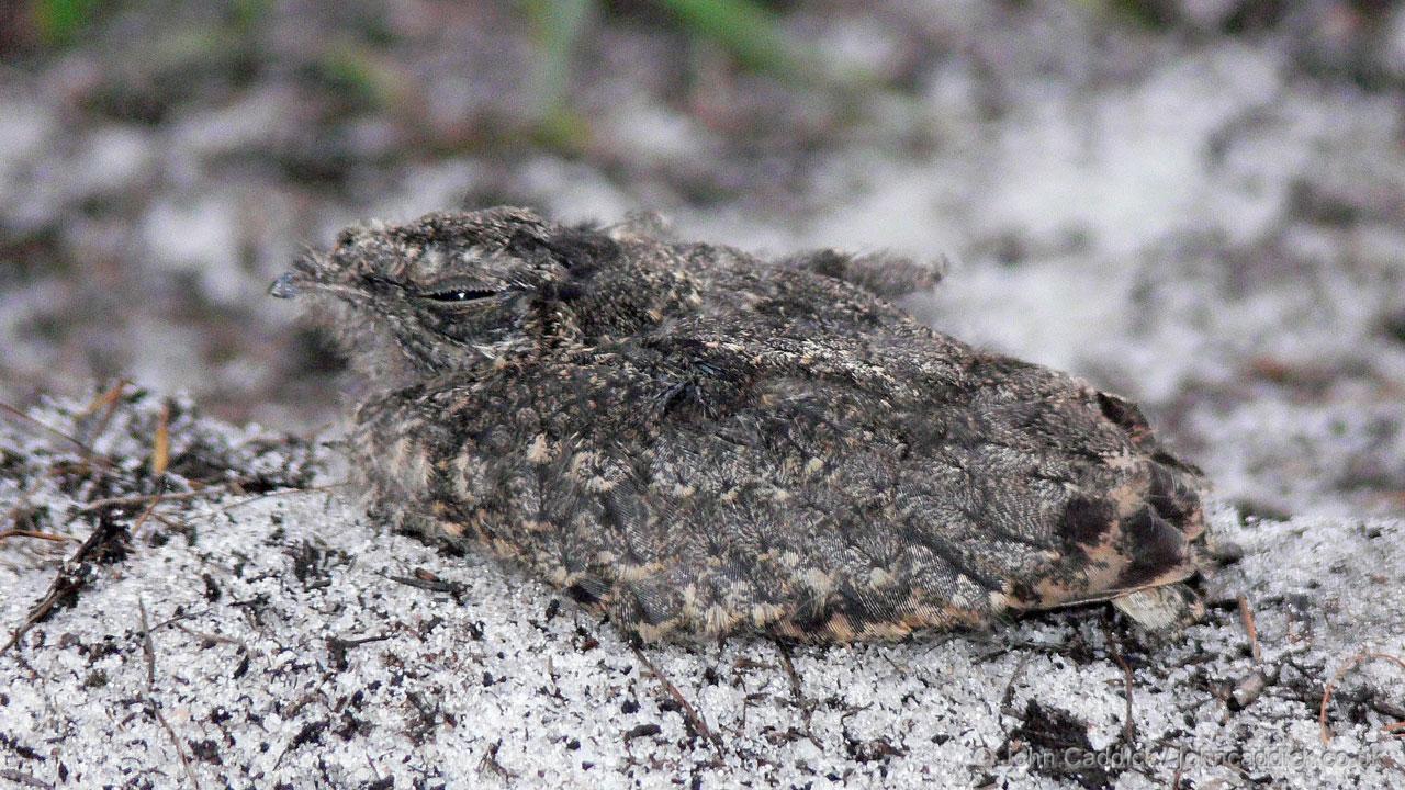 Square-tailed Nightjar juvenile