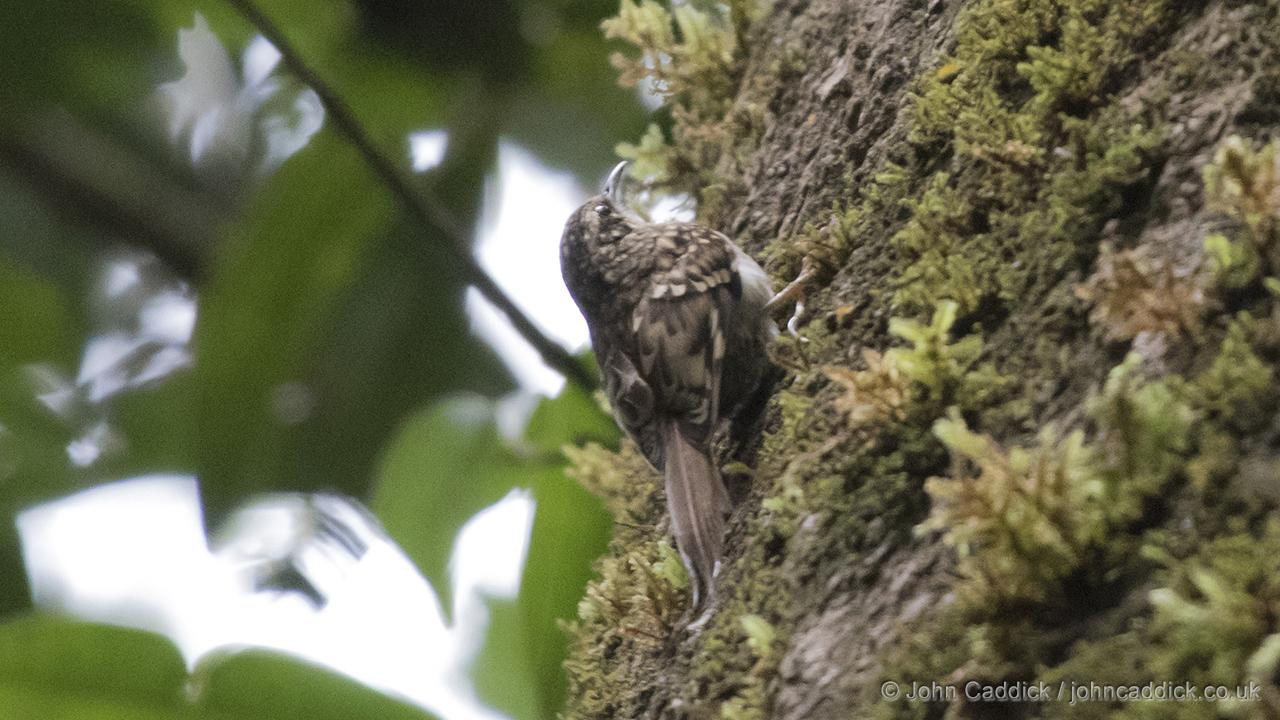 Hume's Treecreeper