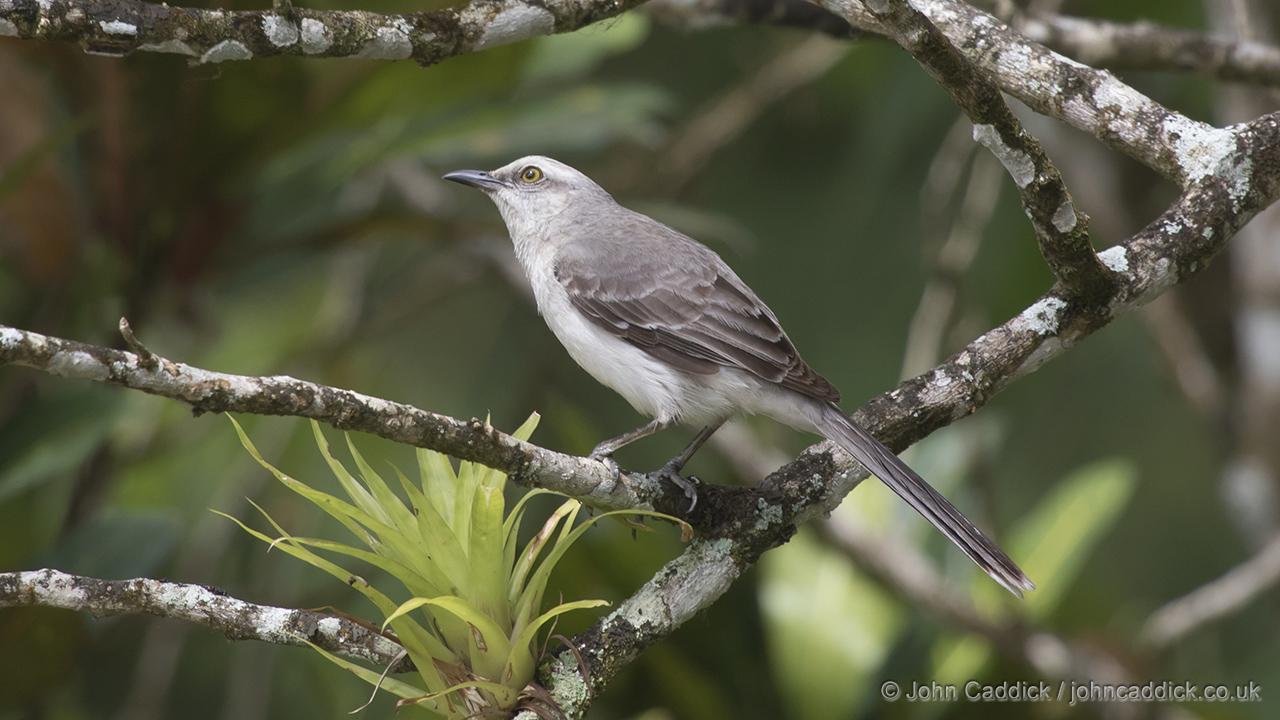 Tropical Mockingbird Mimus gilvus