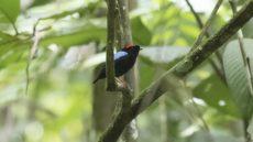 Adult male Blue-backed Manikin