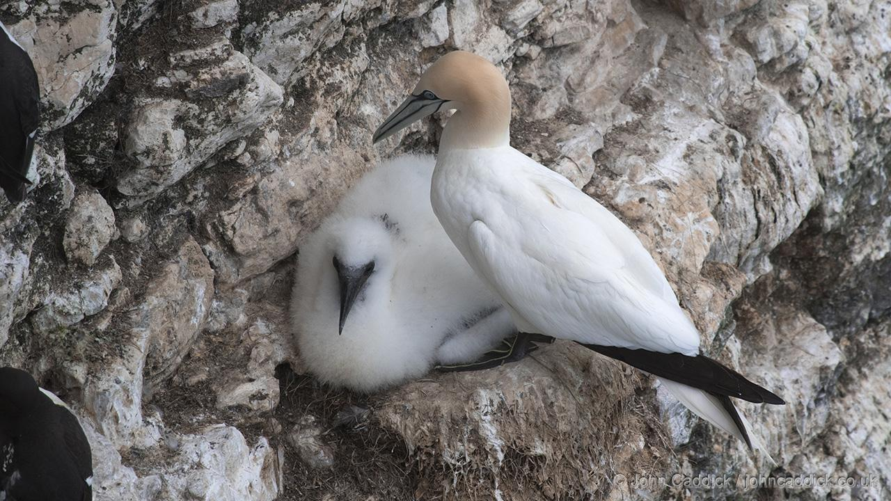 Northern Gannet and chick