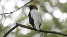 Male Bearded Bellbird