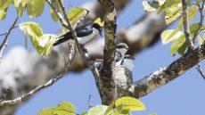 Chabert Vanga at nest with fledglings
