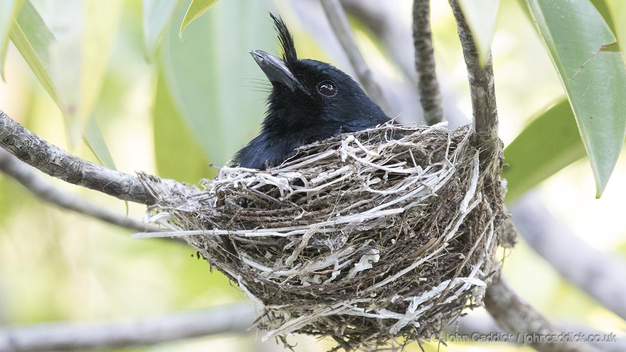 Crested Drongo on nest