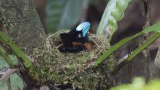 Helmet Vanga adult on nest
