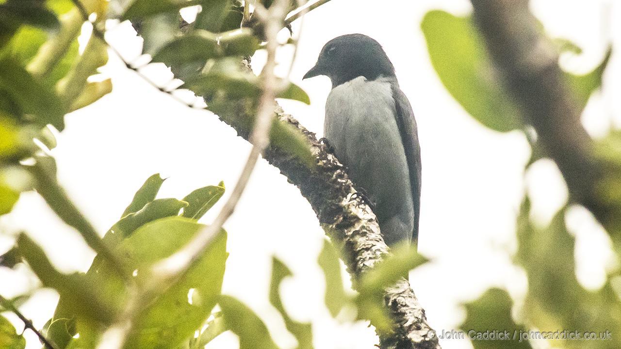 Madagascar Cuckooshrike male