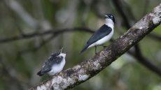 Chabert Vanga adult and fledgling