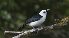 White-headed Vanga