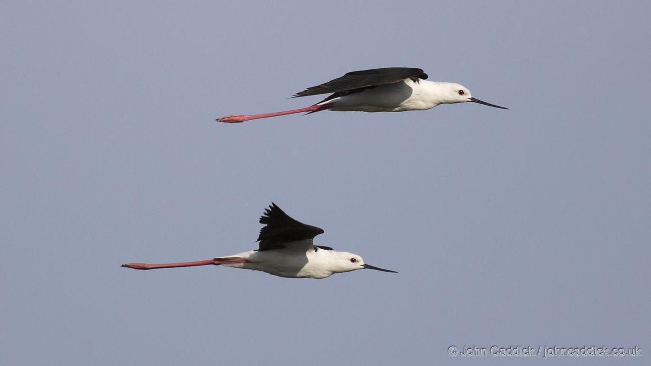 Black-winged Stilts in flight