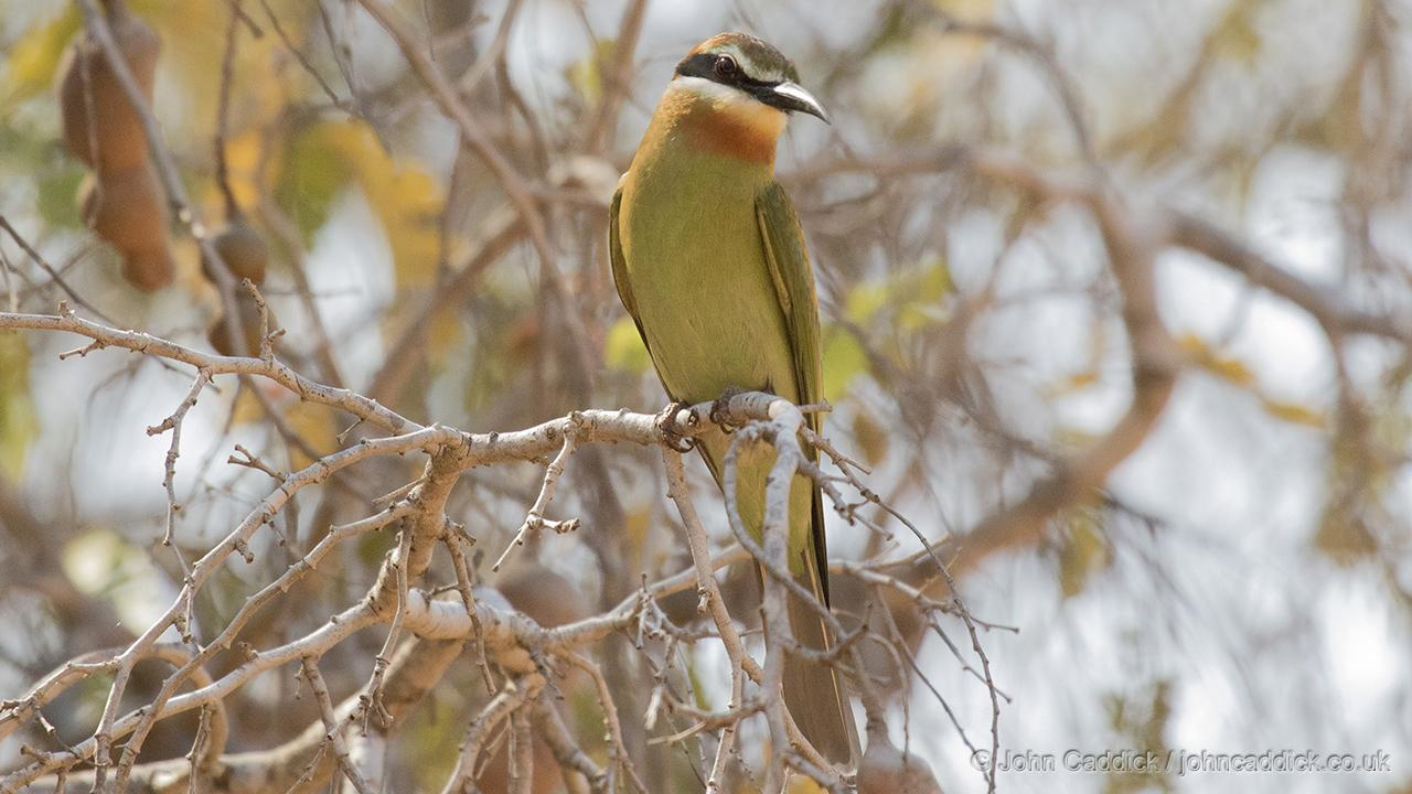 Olive Bee-eater juvenile