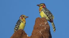 Red-and-yellow Barbet pair