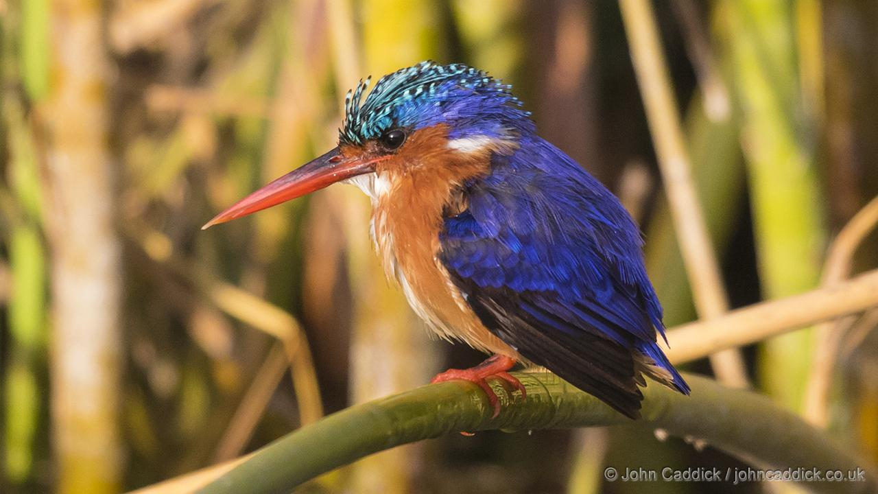 Malachite Kingfisher adult