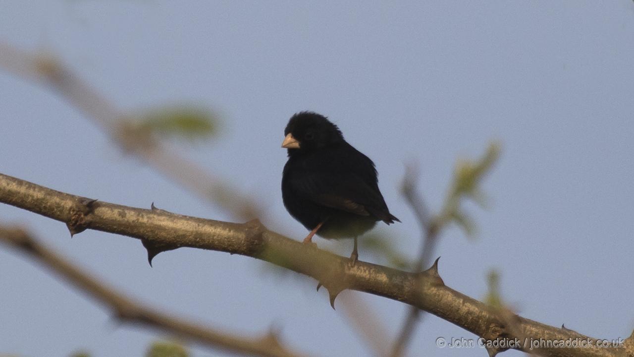 Village Indigobird adult male breeding