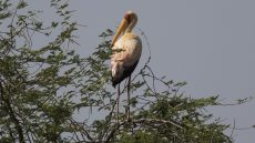 Yellow-billed Stork adult