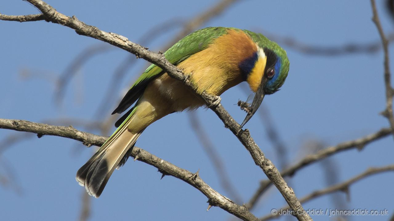 Blue-breasted Bee-eater