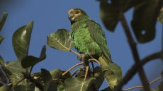 Yellow-fronted Parrot adult