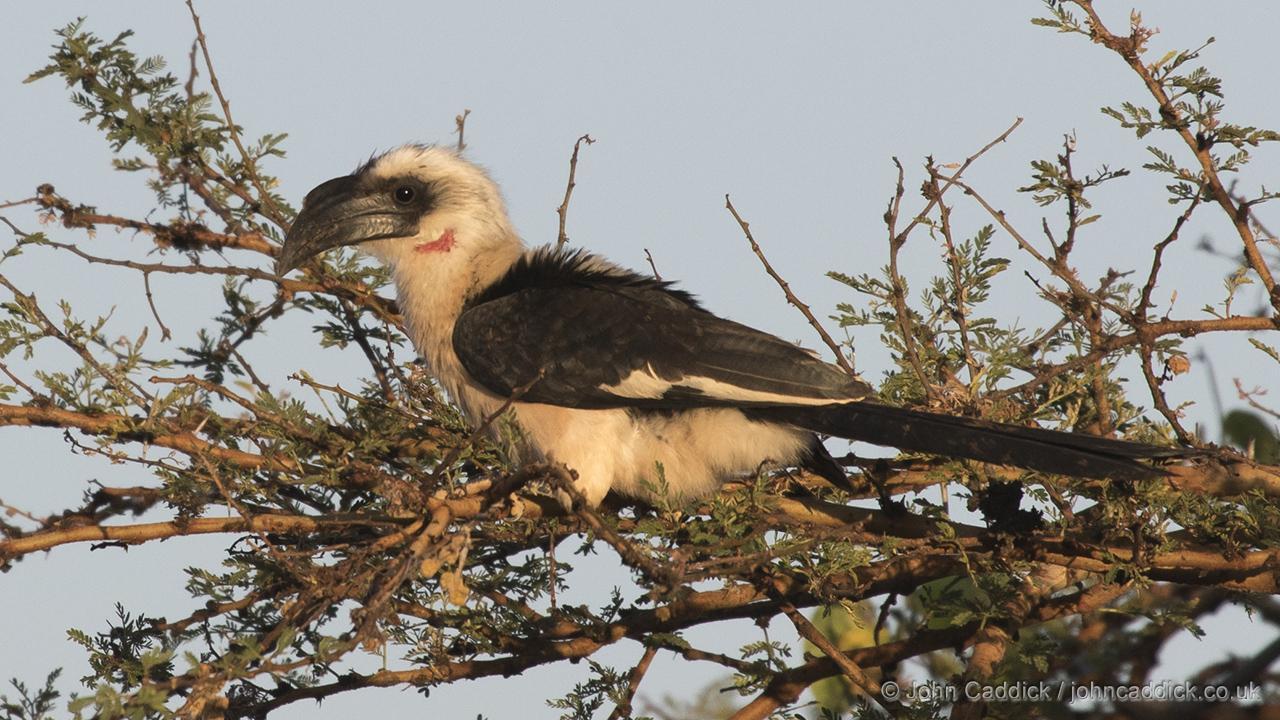 Von der Decken's Hornbill female