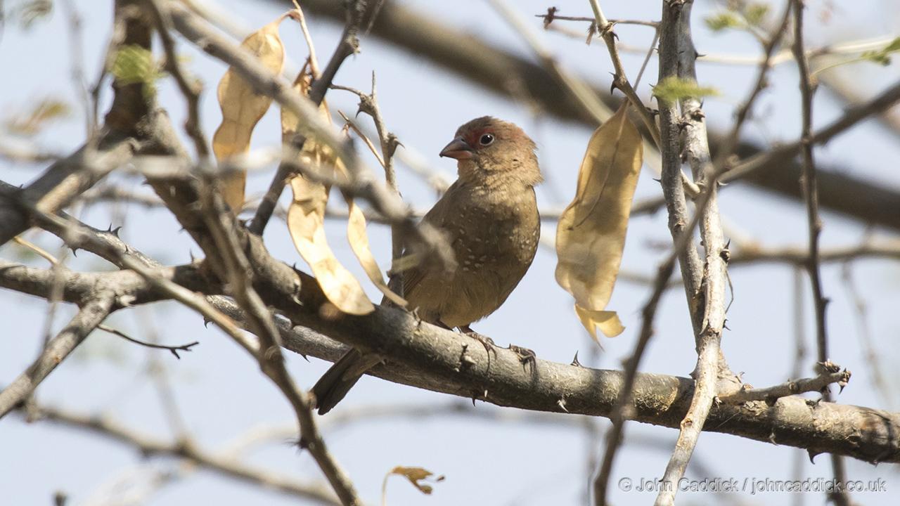 Red-billed Firefinch female