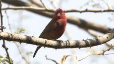 Red-billed Firefinch male