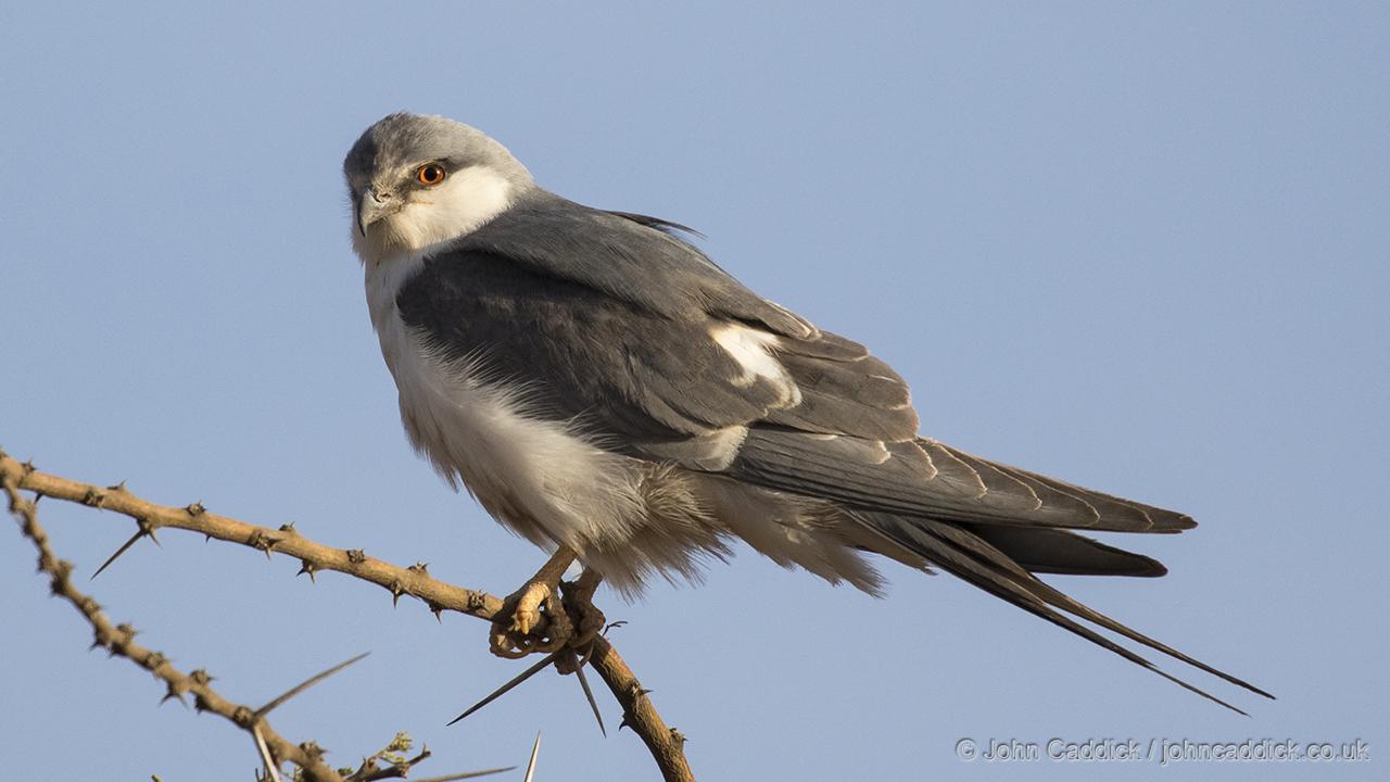 Scissor-tailed Kite
