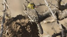 Yellow-breasted Barbet