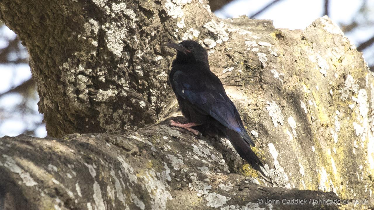 Black-billed Wood Hoopoe