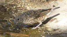 Cut-throat Finch female