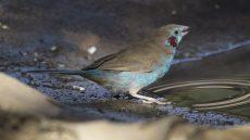 Red-cheeked Cordon-bleu male