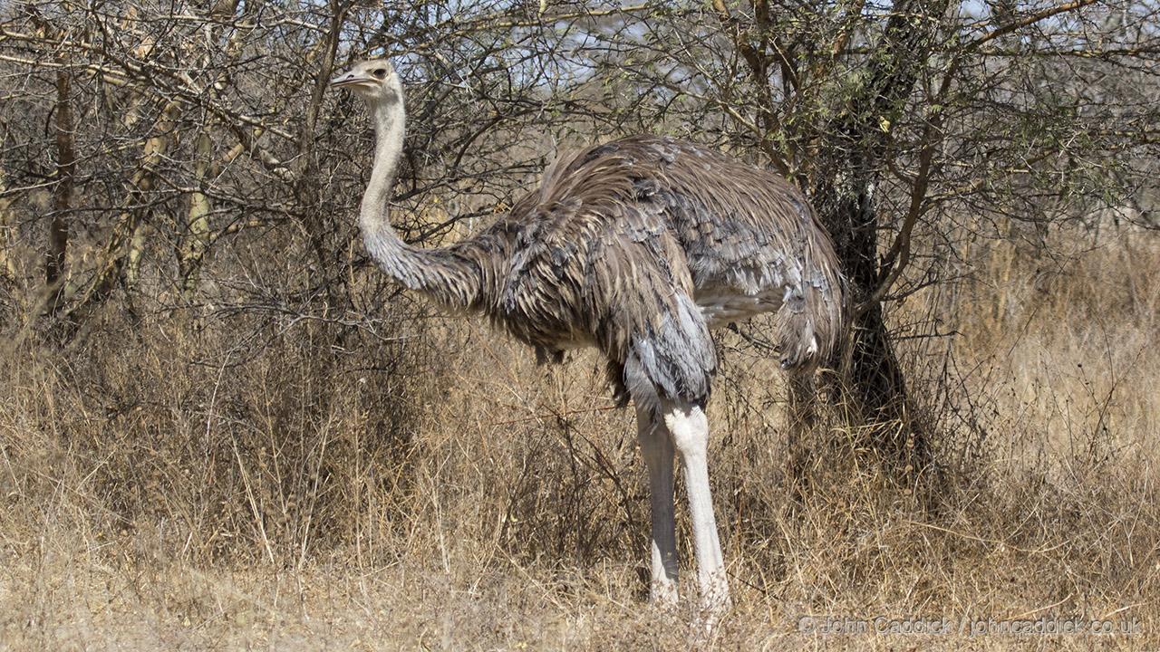 Somali Ostrich female