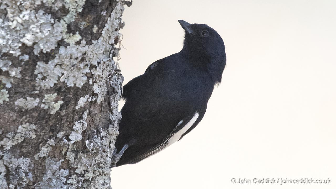 White-winged Black Tit