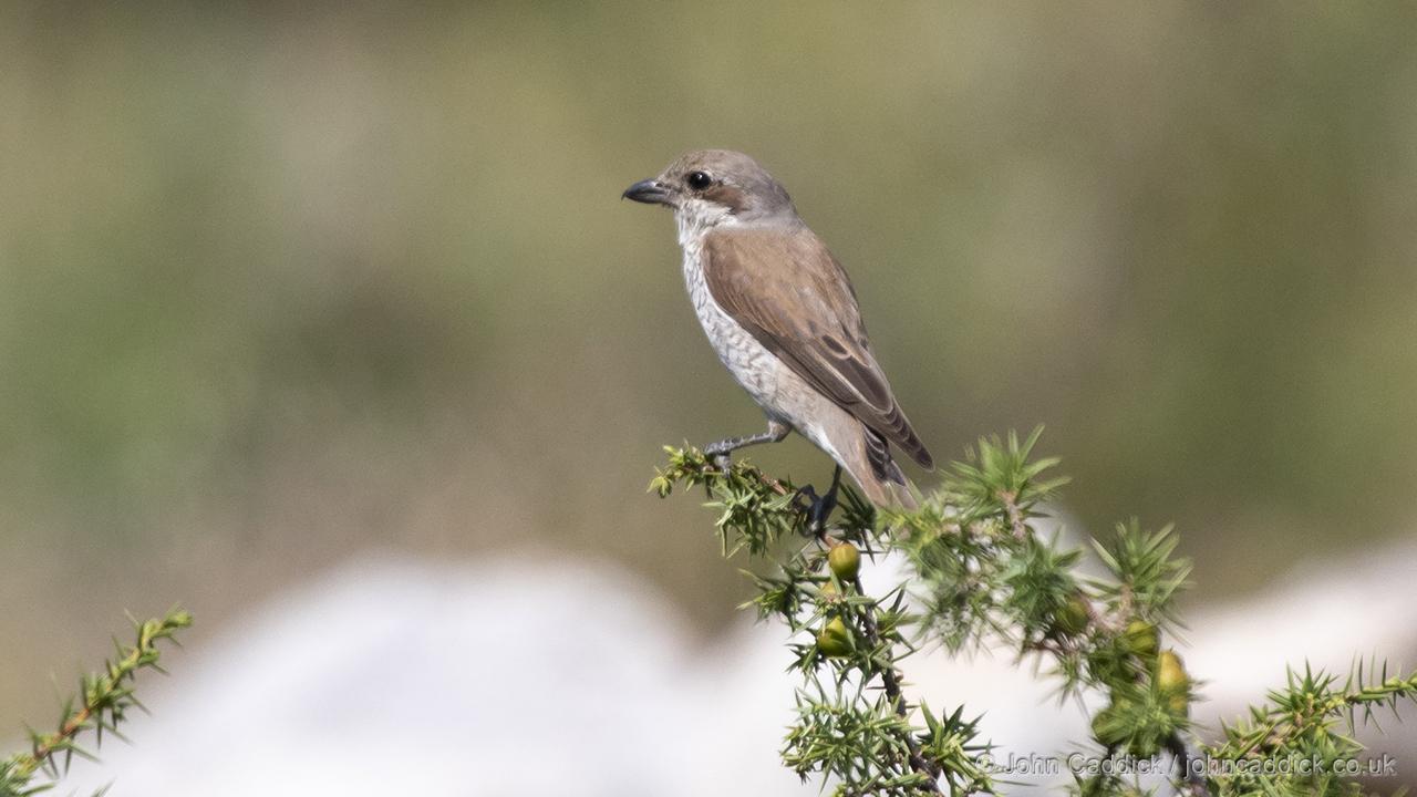 Red-backed Shrike female